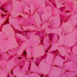 Close-up of Pink Hydrangea