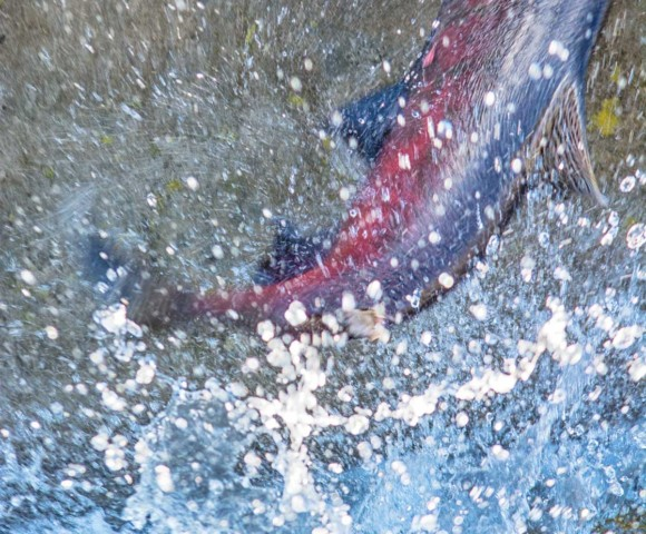 Red Salmon Jumping, Nimbus Fish Hatchery in Sacramento