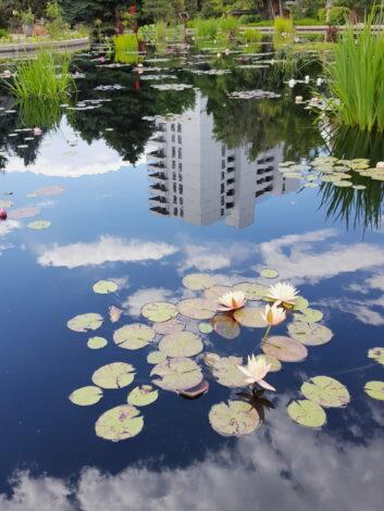 Denver Water Lilies