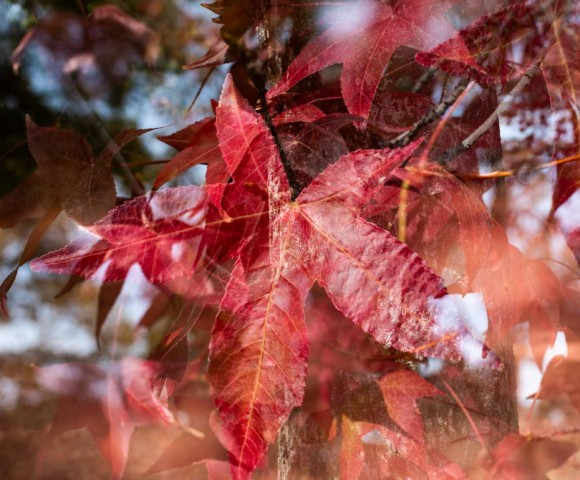 autumn leaves, auburn, photography, photo, color