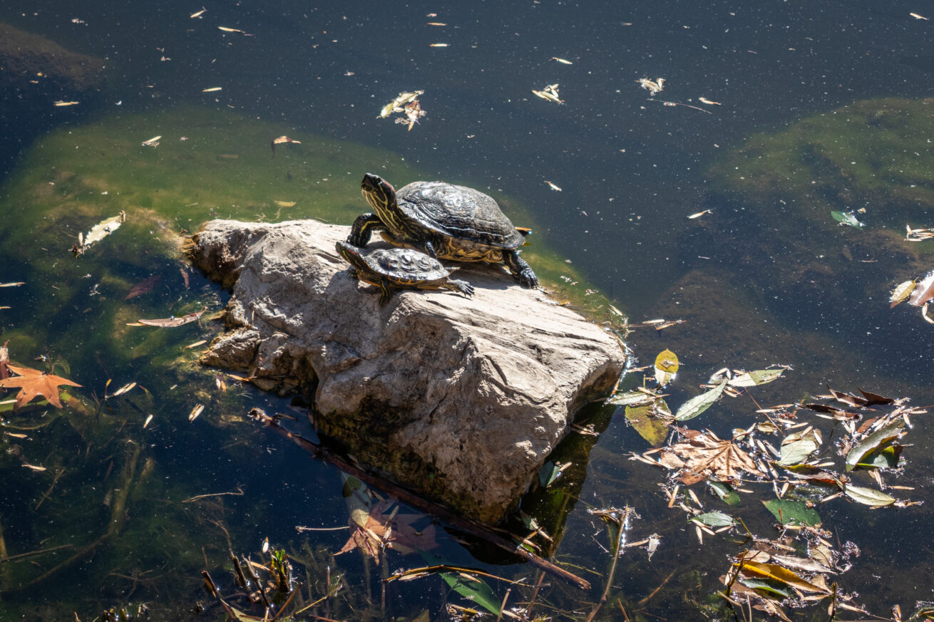 Red-eared Turtle Family
