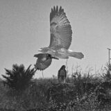Hawk on the Move