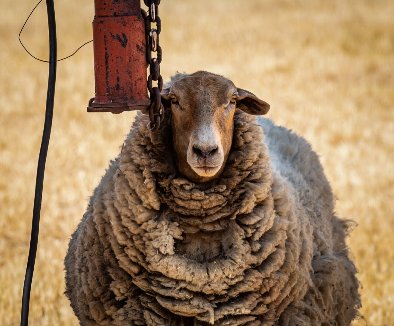 Hungry Hollow Sheep