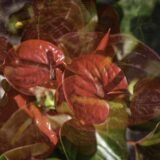 Red arthuriums