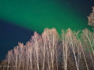 Birch Trees with Northern Lights