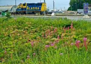 Fireweed in front of Alaska Railroad Car