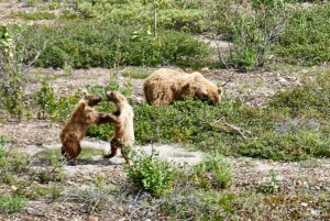 Grizzly Cubs Playing with Mother Nearby