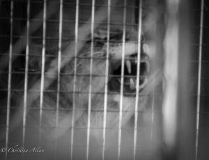 Lion-in-cage-Ringling-brothers-circus-protest-arco-arena-sacramento-allan-DSC 6006