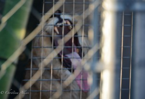 Yawning-lion-in-cage-Ringling-brothers-circus-protest-arco-arena-sacramento-allan-DSC 6022