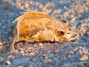 Salton Sea with Fish Skeleton