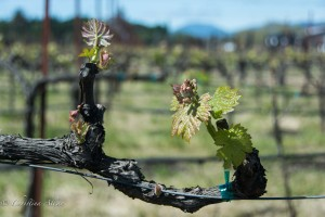 Spring Grape Plants