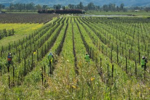 Vineyard with Farmworkers