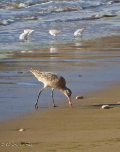 Shorebird