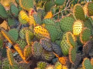 Hillside Cacti