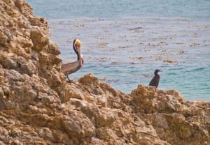 Palos Verdes Pelican