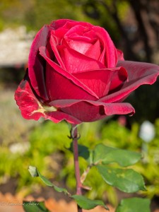 Palos Verdes Red Rose