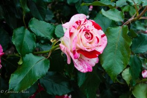 Rock-n-Roll Rose, Inez Grant Parker Garden