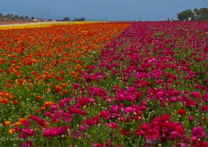 Rainbow Field of Flowers