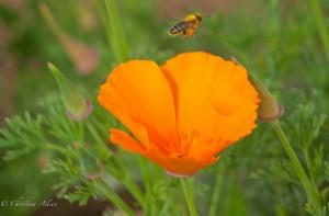 California Poppy with Bee