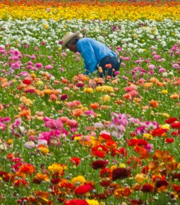 Farmworker in field of flowers