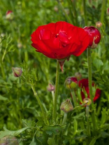 Red Ranuncula