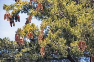 Sugar Pine Tree