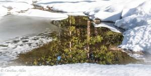 Pine Tree Reflections