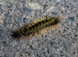 Centipede yosemite