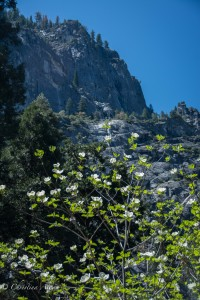 Dogwood Granite Wall Yosemite