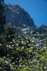 Dogwood Granite Wall Yosemite