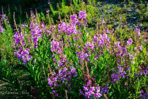Purple Fireweed