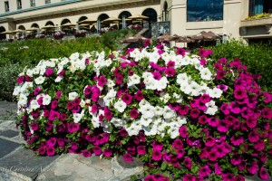 Purple and White Petunias, Chateau Lake Louise