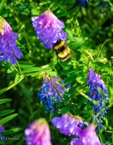 Purple Fireweed with Bee