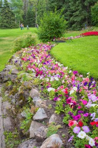 Petunia Flowerbed