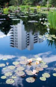 Water lilies with building reflection