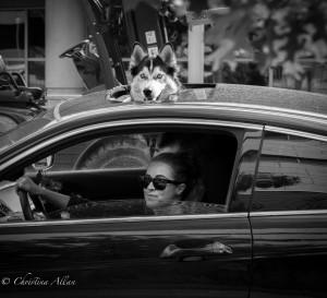 Denver Dog sunroof car black and white