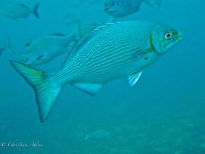 Napali Coast Fish