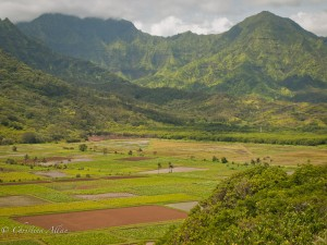 View of Taro Fields