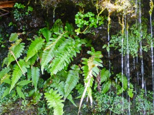 Oheo Gulch with Ferns and Water Dripping