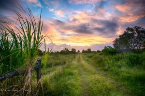Cane Fields at Dawn