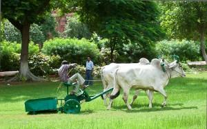 Oxen Mowing Grass at Taj Mahal