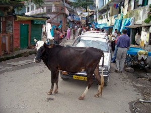 Cow in Road at Dharamsala