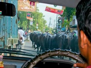 Cows Blocking Road in Varanasi