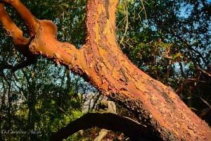 Manzanita Tree