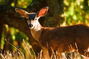 Close-up Mule Deer