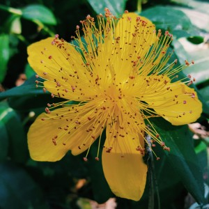 Yellow forest groundcover flower