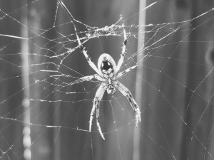 Orb Weaver Spider and Web
