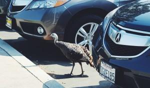 Wild turkey shopping for car