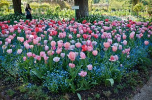 Pink Tulips at Giverny