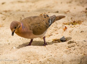 St. Lucia Pigeon